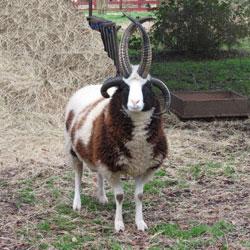 Red Gate Farm Jacob Sheep Rams